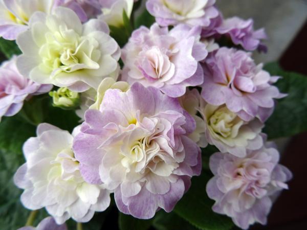 Primula vulgaris - primevère commune, primevère acaule P_vulg10