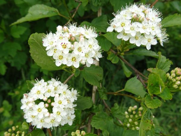 le joli mois de mai des fous jardiniers - Page 7 Physoc10