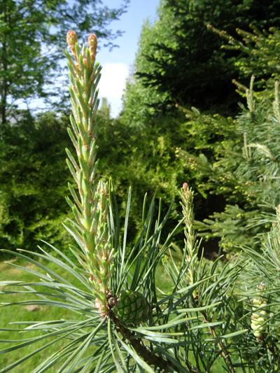 Pinus sylvestris - pin sylvestre - Page 2 Pin_sy12