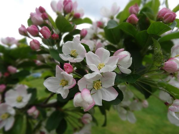 le joli mois de mai des fous jardiniers Pommie10