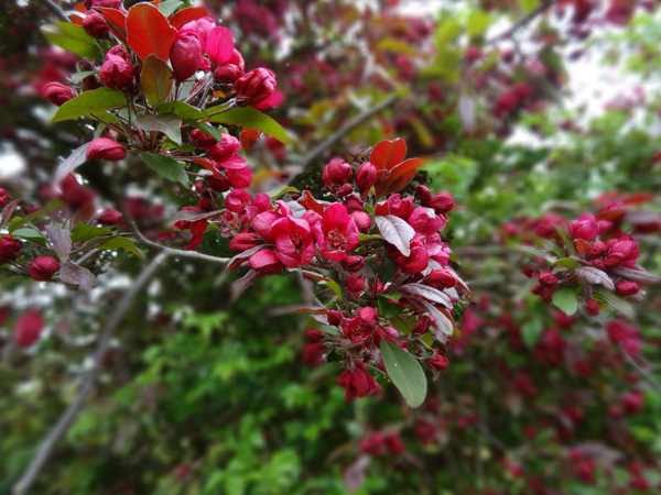 le joli mois de mai des fous jardiniers Pommie11