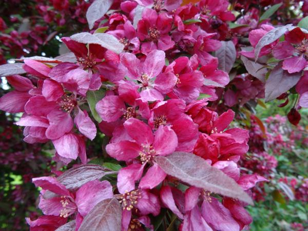 le joli mois de mai des fous jardiniers - Page 2 Pommie13