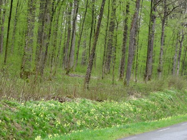 Primula elatior - primevère des bois Primul13