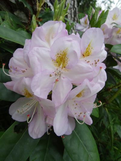 le joli mois de mai des fous jardiniers - Page 8 Rhodo_10