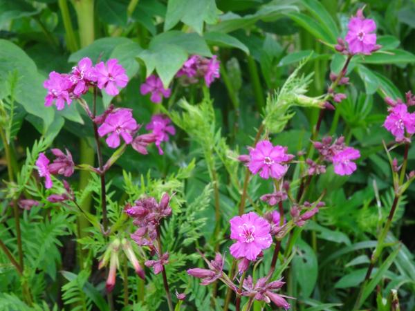 le joli mois de mai des fous jardiniers - Page 8 Silyne10