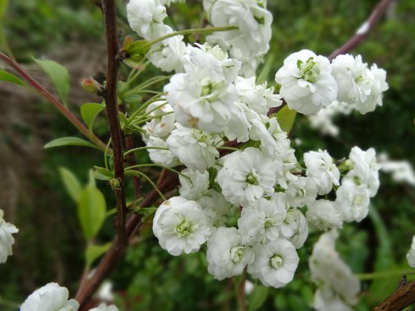 le joli mois de mai des fous jardiniers Spirae10