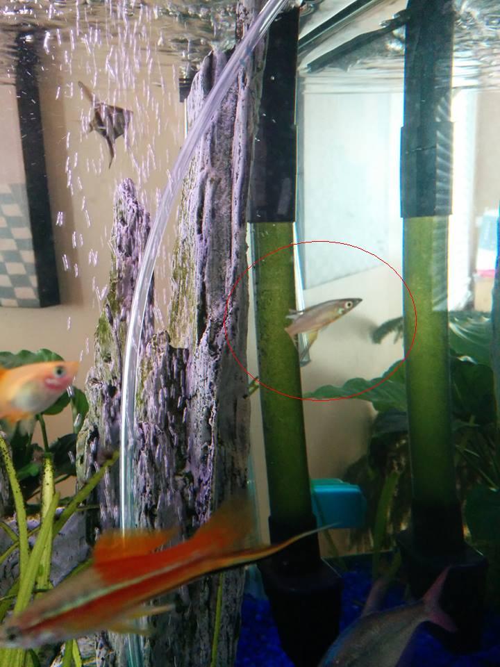 Quelle sorte de poisson? Réponse: iriatherina werneri 10686610