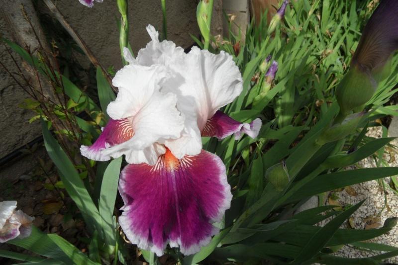 Les iris -culture, multiplication, entretien, variétés. - Page 3 Sam_0218
