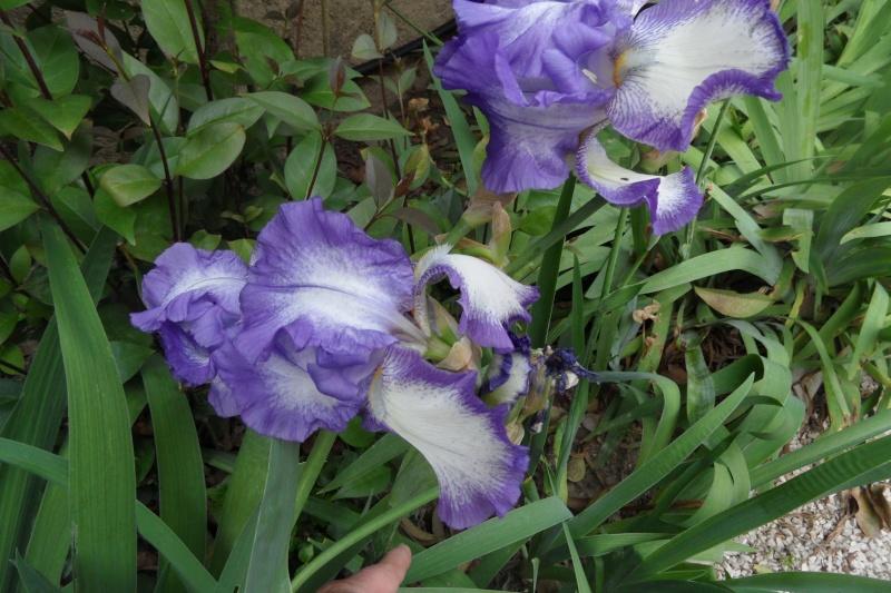 Les iris -culture, multiplication, entretien, variétés. - Page 3 Sam_0219