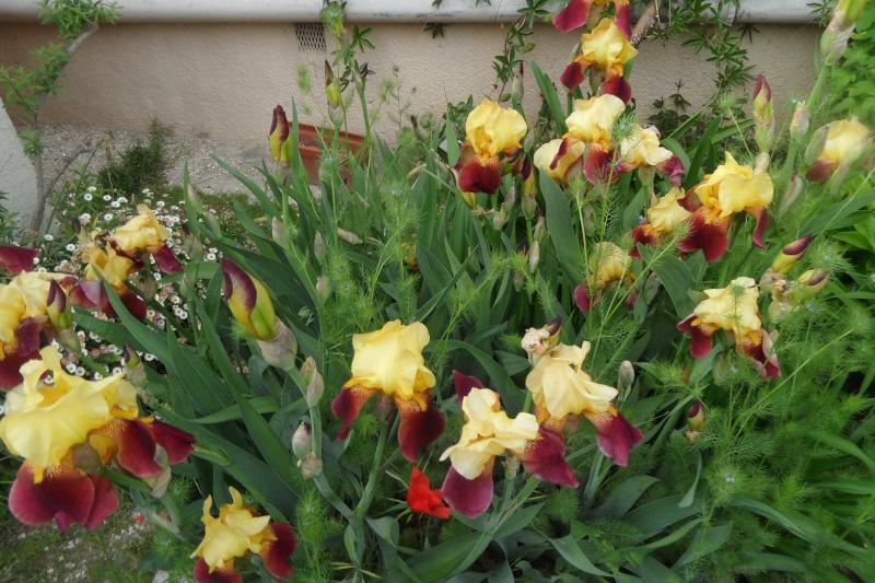 Les iris -culture, multiplication, entretien, variétés. - Page 3 Sam_0221