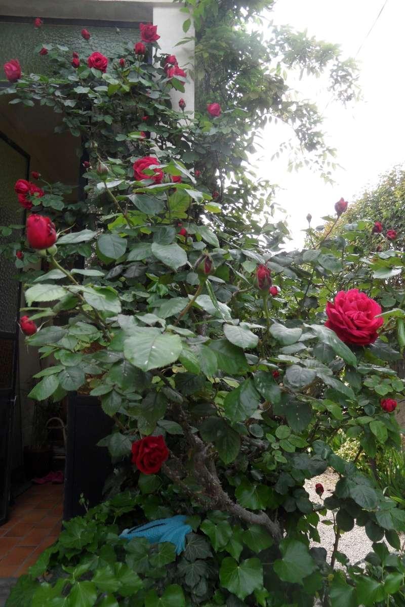 le royaume des rosiers...Vive la Rose ! - Page 13 Sam_0224