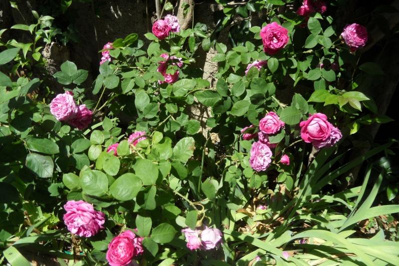 le royaume des rosiers...Vive la Rose ! - Page 13 Sam_0225