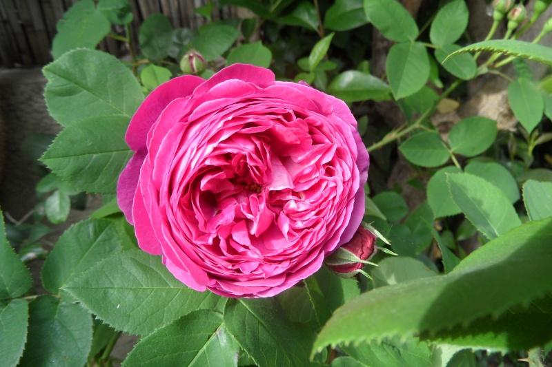 le royaume des rosiers...Vive la Rose ! - Page 13 Sam_0227