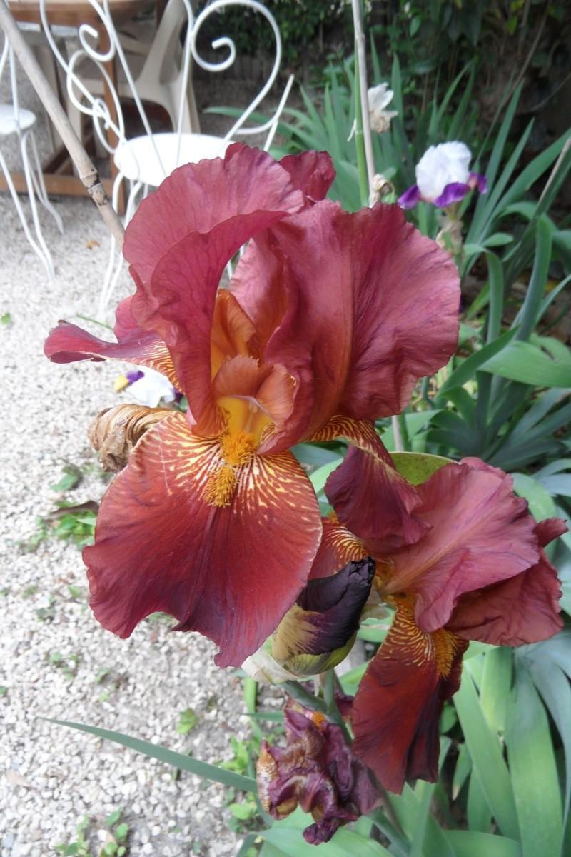 Les iris -culture, multiplication, entretien, variétés. - Page 3 Sam_0318
