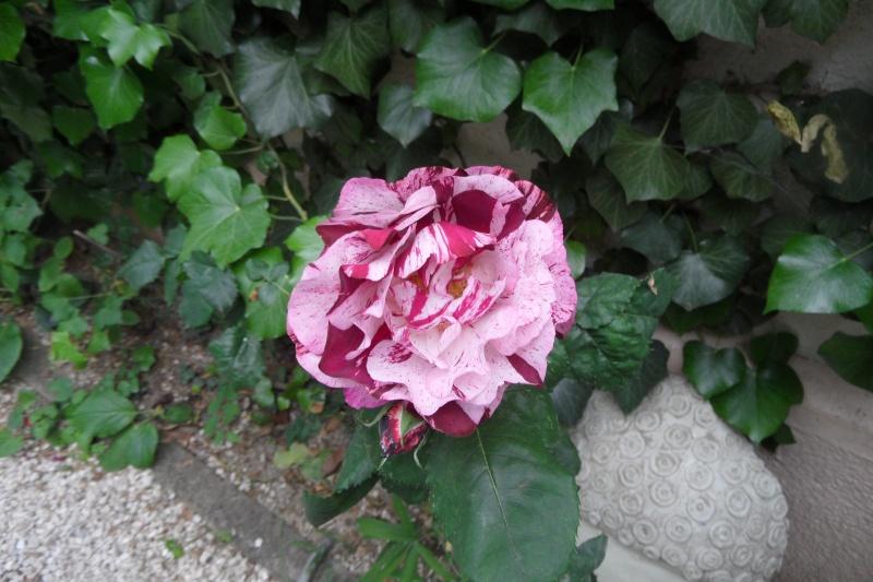 le royaume des rosiers...Vive la Rose ! - Page 13 Sam_0320