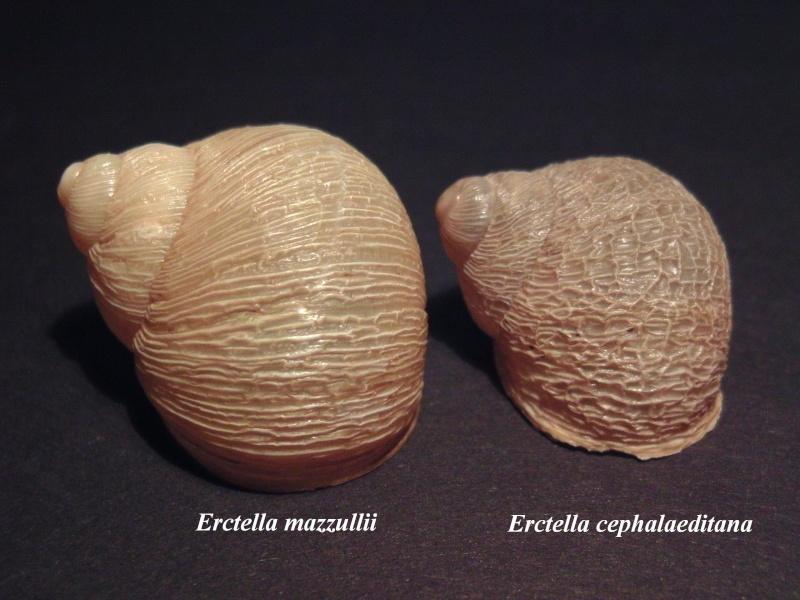 Erctella mazzullii (De Cristofori & Jan, 1832) & Erctella insolida (Monterosato, 1892) & Erctella cephalaeditana (Gianuzzi-Savelli, Sparacio & Oliva, 2012) Bild8410