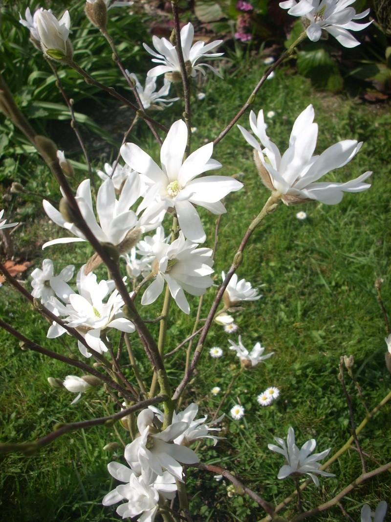 C'est quoi ? Magnolia stellata 00510