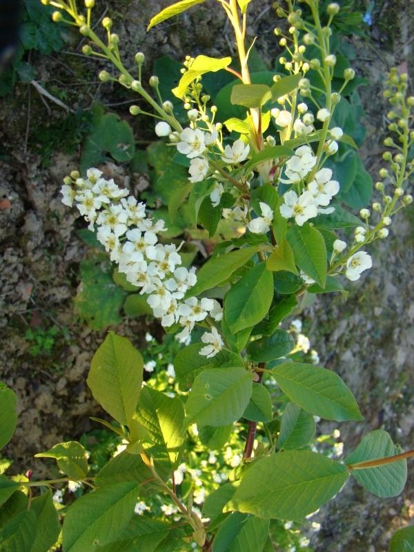 arbuste inconnu :  prunus padus Dsc08310