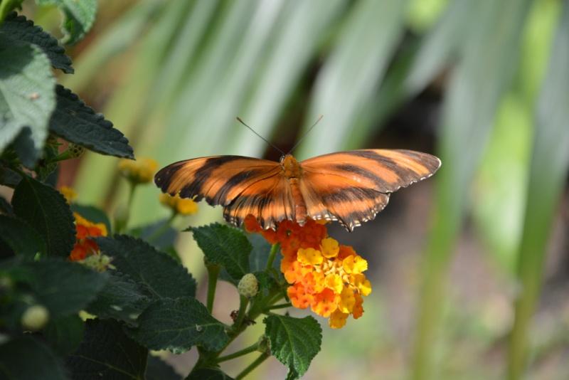 papillion Dsc_4334
