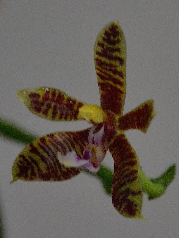 Phalaenopsis Mannii x corningiana Maxgon10