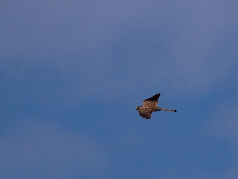 çà vole en 29 Bird_110
