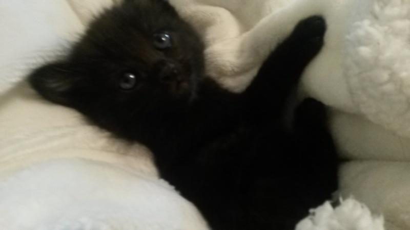 Lutzi, mâle type européen noir estimé né 01/03/2015 20150414