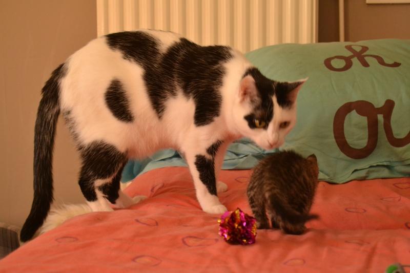 Lilly, femelle type européen tabby née le 25/04/2015 510
