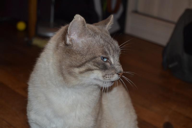 O'Malley, chat mâle type siamois tabby point aux yeux bleus né 01/01/2012 Dsc_1410