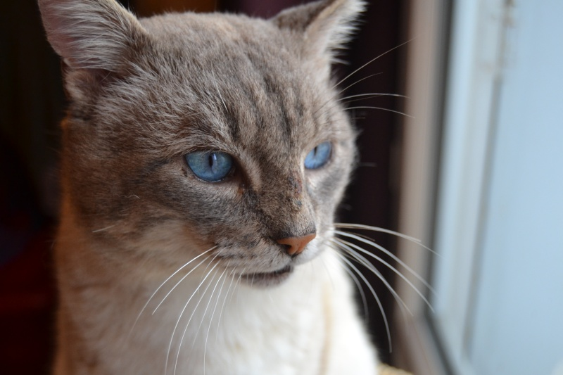 O'Malley, chat mâle type siamois tabby point aux yeux bleus né 01/01/2012 Dsc_1510