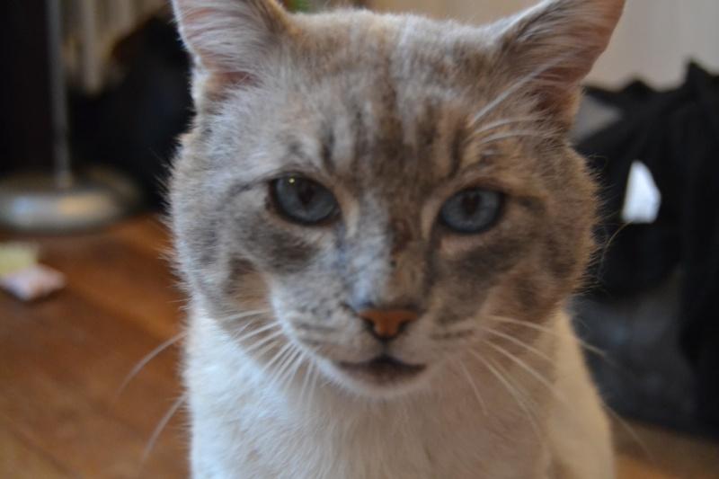 O'Malley, chat mâle type siamois tabby point aux yeux bleus né 01/01/2012 Dsc_1511