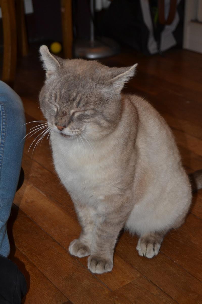 O'Malley, chat mâle type siamois tabby point aux yeux bleus né 01/01/2012 Dsc_1512