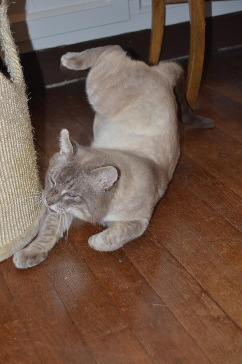 O'Malley, chat mâle type siamois tabby point aux yeux bleus né 01/01/2012 Dsc_1514