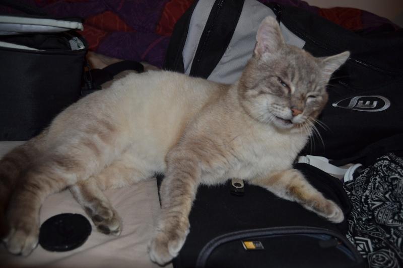 O'Malley, chat mâle type siamois tabby point aux yeux bleus né 01/01/2012 Dsc_1517