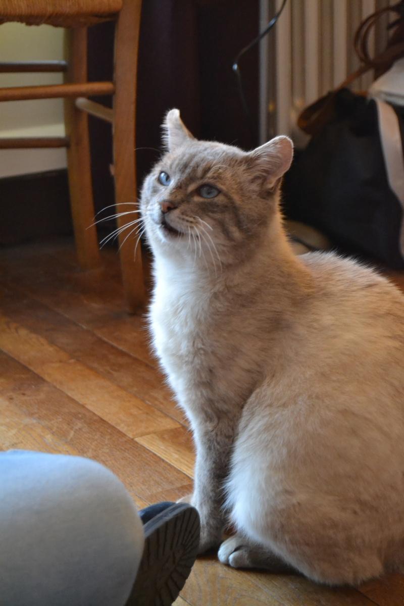 O'Malley, chat mâle type siamois tabby point aux yeux bleus né 01/01/2012 Dsc_1518