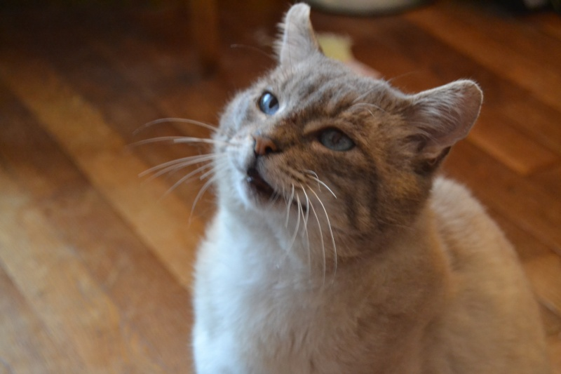 O'Malley, chat mâle type siamois tabby point aux yeux bleus né 01/01/2012 Dsc_1520