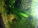 Aquarium Low tech - 126 litres - Page 2 Danios10