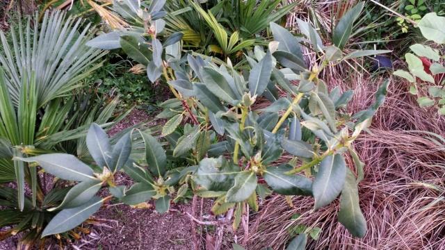 Rhododendron - espèces, variétés, floraisons - Page 5 20150510