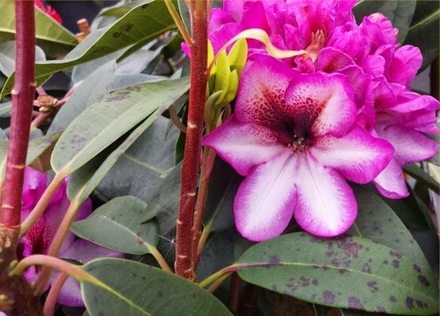 Rhododendron - espèces, variétés, floraisons - Page 5 20150511