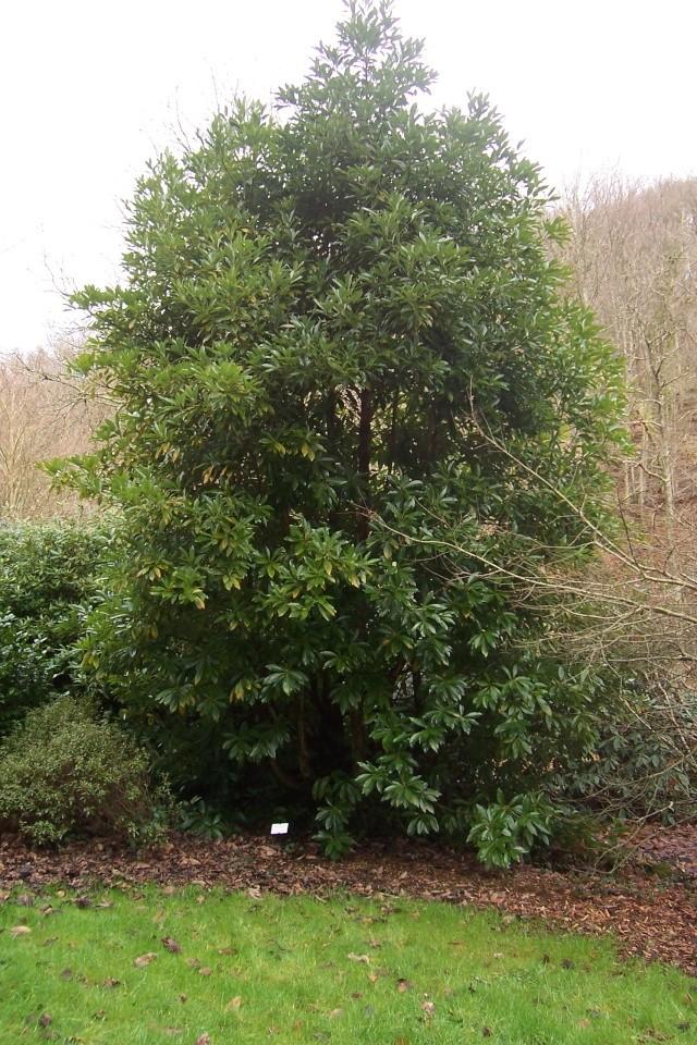 Machilus thunbergii (= Persea thumbergii) Machil10