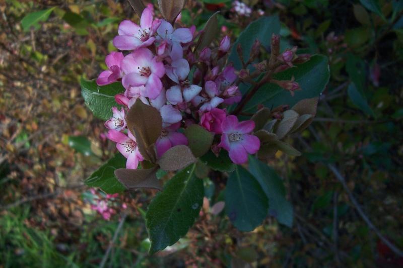 Rhaphiolepis x delacourii 'Springtime' Rhaphi11