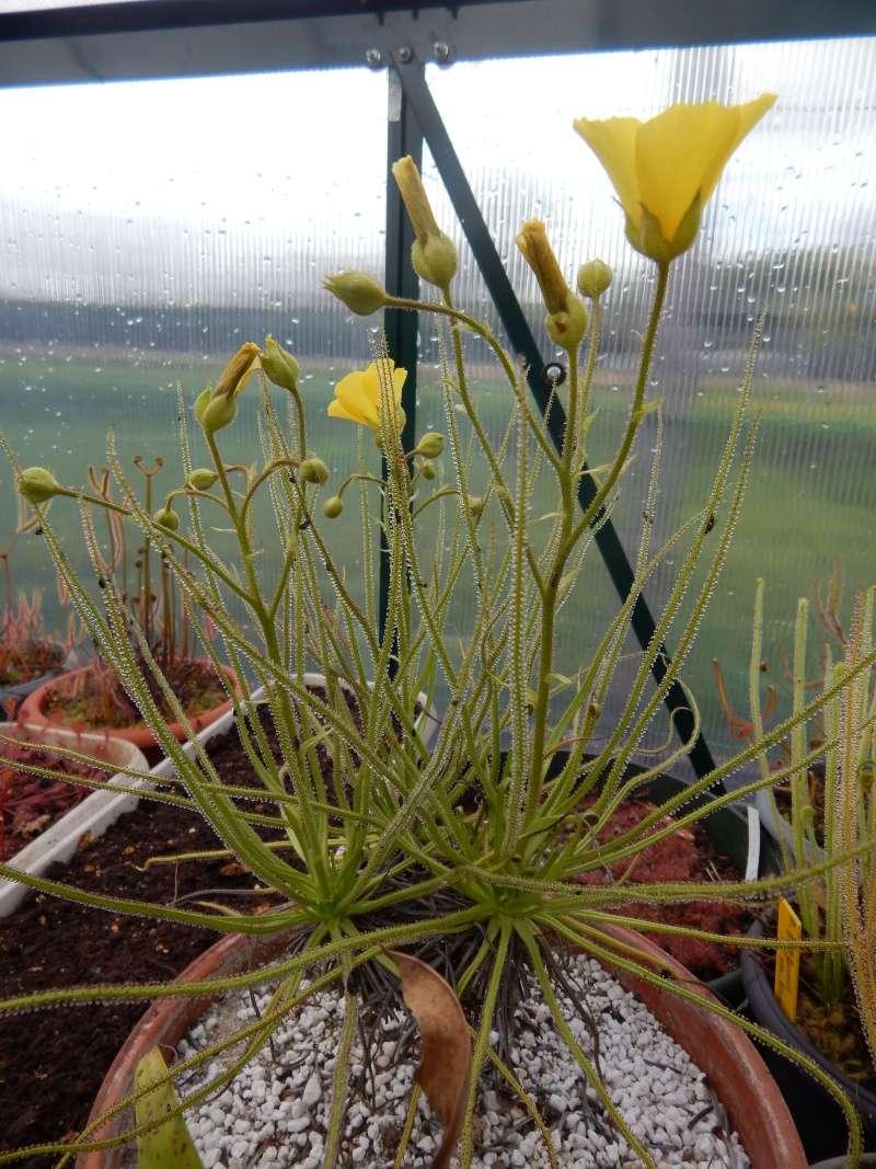 Drosophyllum en fleur. Dscn2411