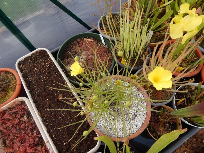 Drosophyllum en fleur. Dscn2412
