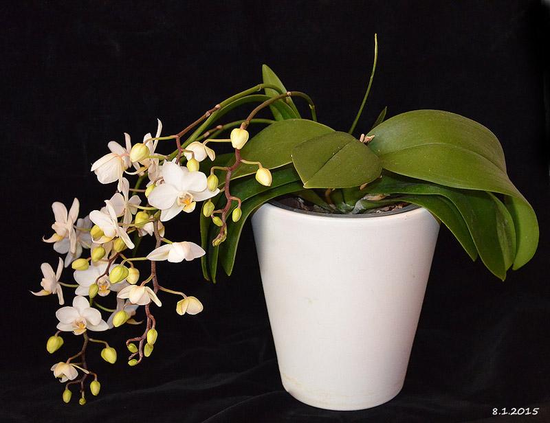 """Meine Phalaenopsis """"stirbt"""" Dsc_5710"""