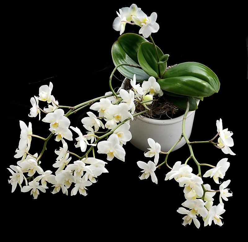 Orchideen-Neuzugang - Seite 3 Dsc_7912