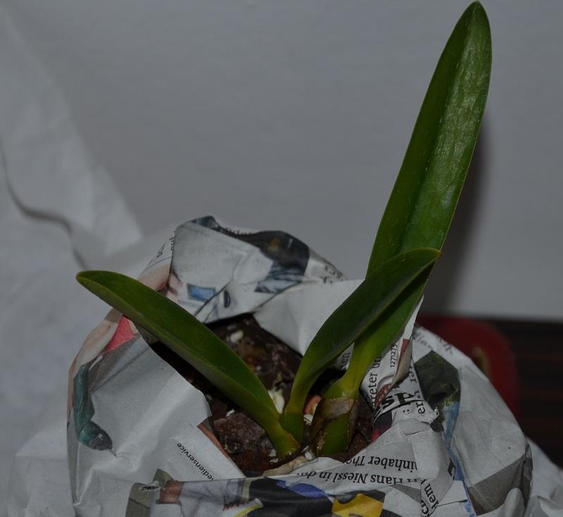 Orchideen-Neuzugang - Seite 3 L-jong10