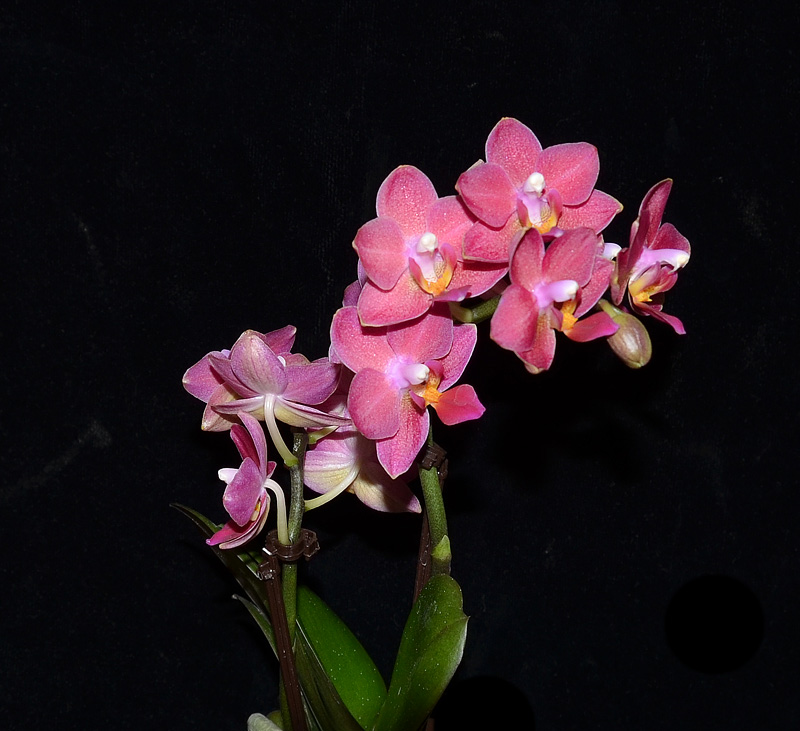 Orchideen-Neuzugang - Seite 4 Neu110