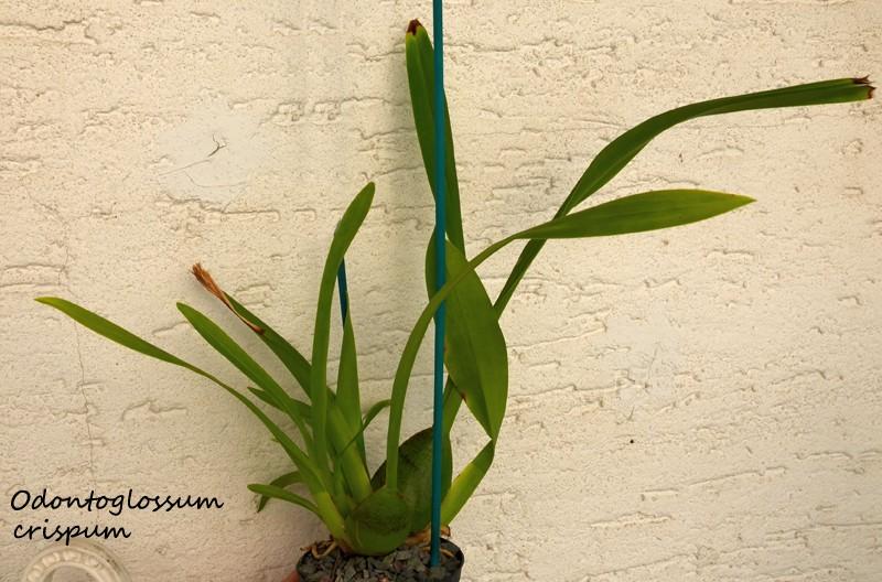 Orchideen-Neuzugang - Seite 3 Odonto10