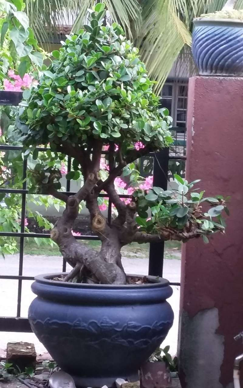 ficus in a large pot Fig_ap10