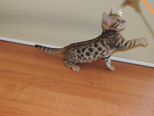 Бенгальские котята 0_dfaa11