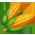Géante de Jersey => Plume de Géante de Jersey Corn_p10